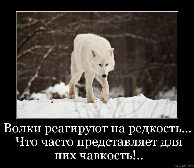 Волки реагируют на редкость... Что часто представляет для них чавкость!..