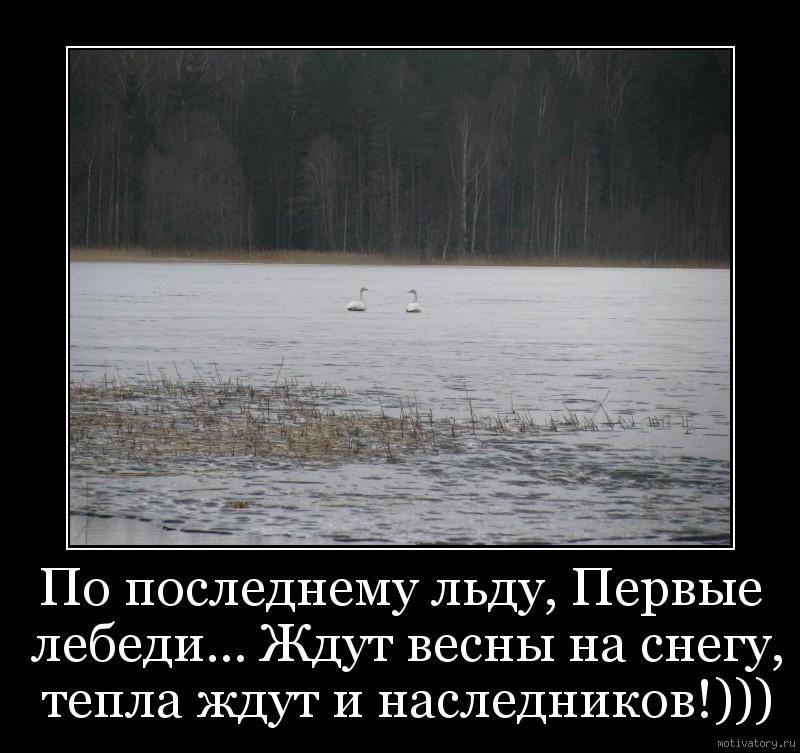 По последнему льду, Первые лебеди... Ждут весны на снегу, тепла ждут и наследников!)))
