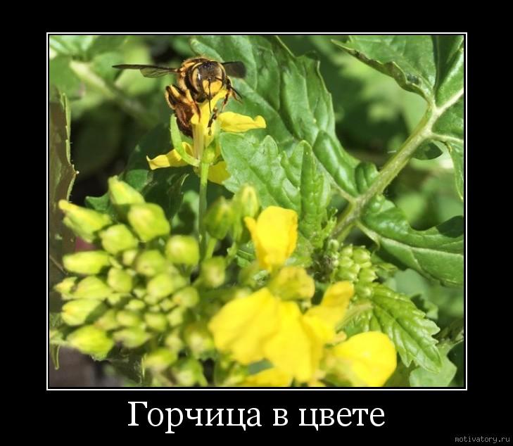 Горчица в цвете