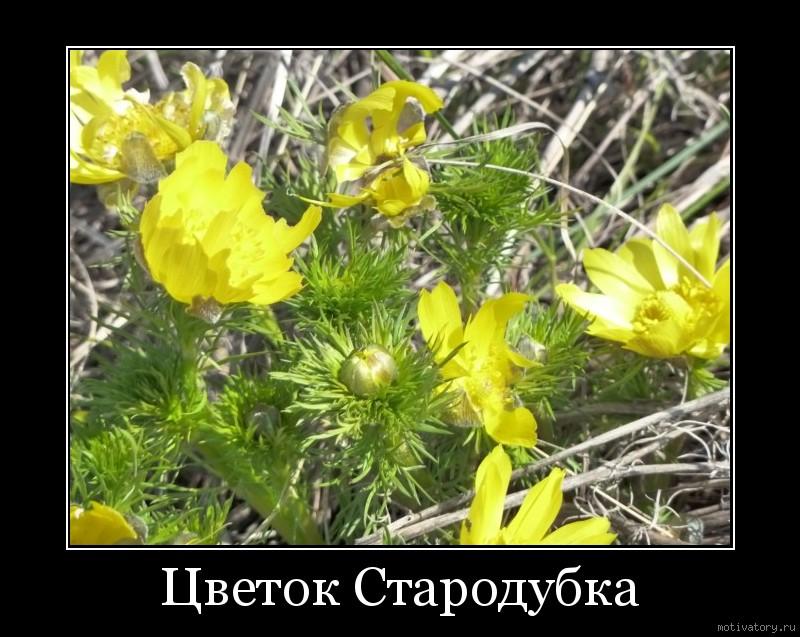 Цветок Стародубка
