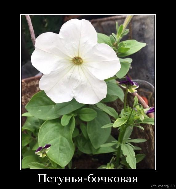 Петунья-бочковая
