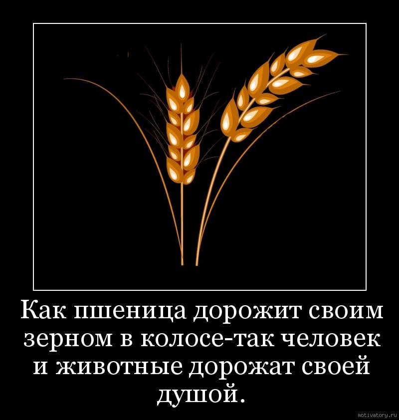 Как пшеница дорожит своим зерном в колосе-так человек и животные дорожат своей душой.