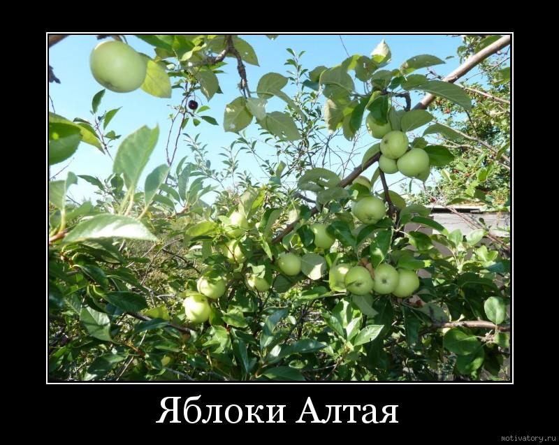 Яблоки Алтая