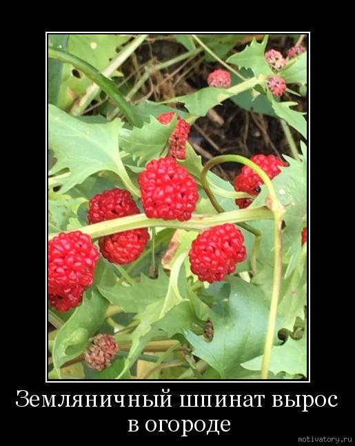 Земляничный шпинат вырос в огороде