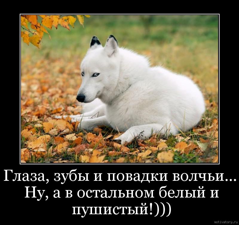 Глаза, зубы и повадки волчьи... Ну, а в остальном белый и пушистый!)))