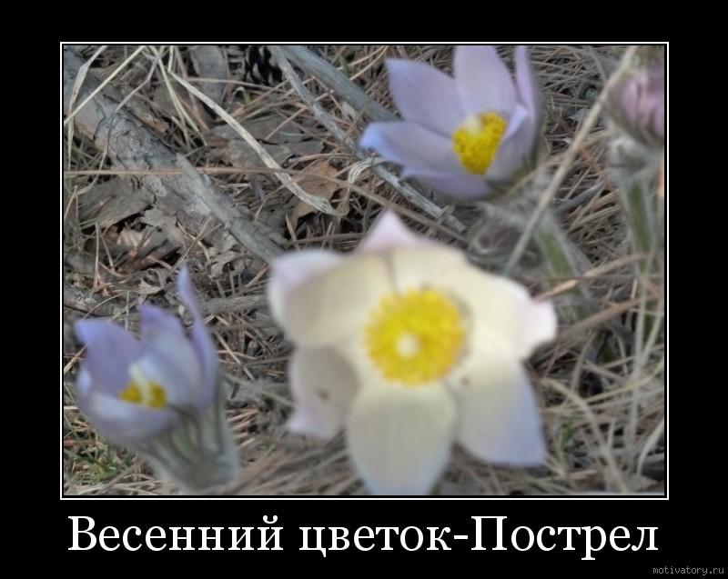 Весенний цветок-Пострел